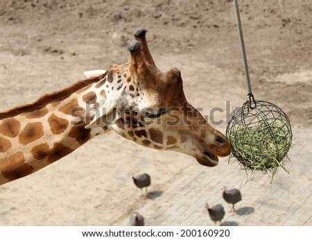 Giraffe in the zoo eating. - stock photo