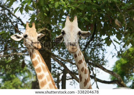 Giraffe in the zoo / Giraffe with trees / Giraffe in the wild / Healthy giraffe  - stock photo