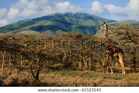 Giraffe in trees of acacias. The giraffe is grazed at mountain in trees of prickly acacias. - stock photo