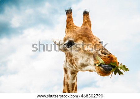 Giraffe is eating leaves over blue sky with white clouds