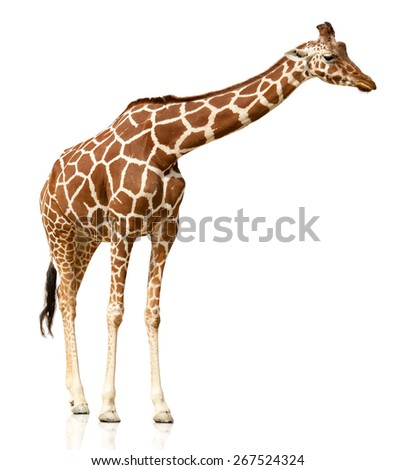 Giraffe isolated on white - stock photo