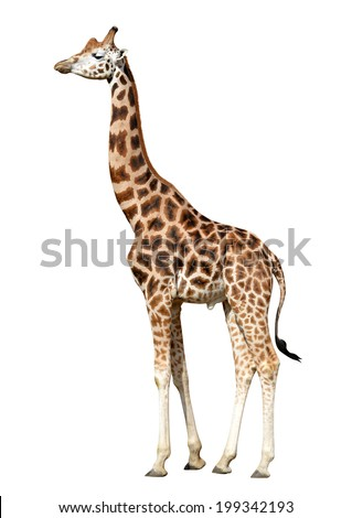 giraffe isolated on white background