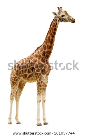 Giraffe isolated on white background. Clipping path included - stock photo