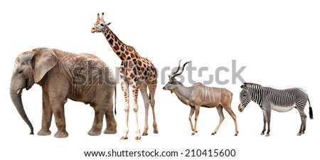 Giraffe, Kudu, Zebra and Elephant isolated on white - stock photo