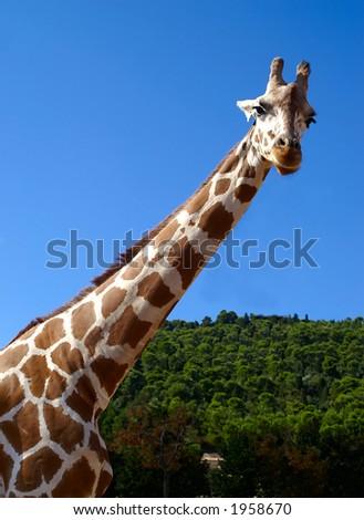 Giraffe looking at the camera on blue sky - stock photo