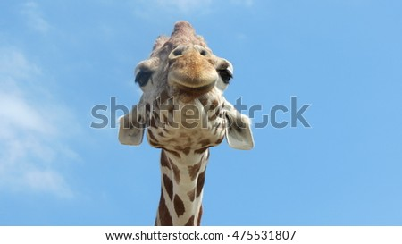 Giraffe looking down his nose