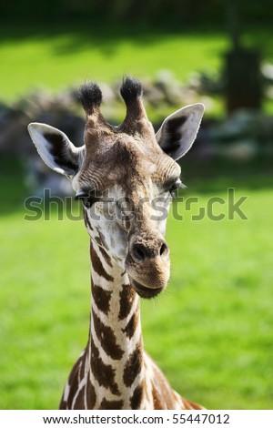 Giraffe looking towards you - stock photo