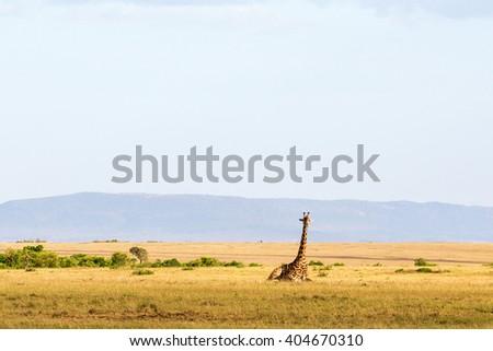 Giraffe lying down in the savanna landscape - stock photo