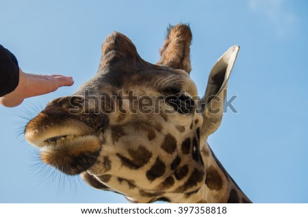 Giraffe male really close - stock photo