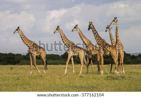 Giraffe Masai Mara Kenya Africa - stock photo