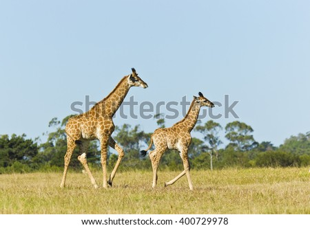 Giraffe mom and child walking on a sunny afternoon in short brown grass - stock photo