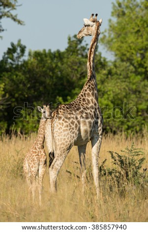 Giraffe mother and baby in Etosha National Park in Namibia - stock photo
