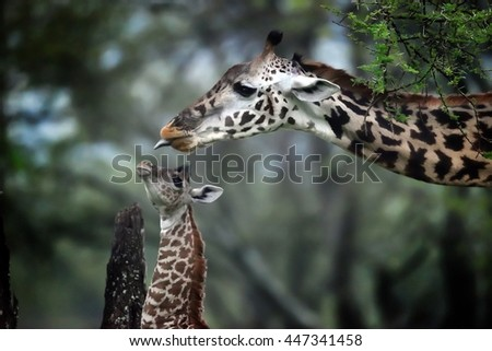 Giraffe mother and baby in natural park - stock photo