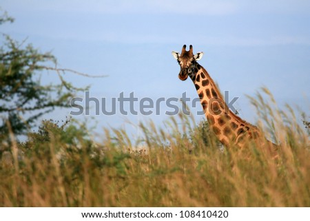 Giraffe, Murchison Falls National Park Safari Reserve in Uganda - The Pearl of Africa