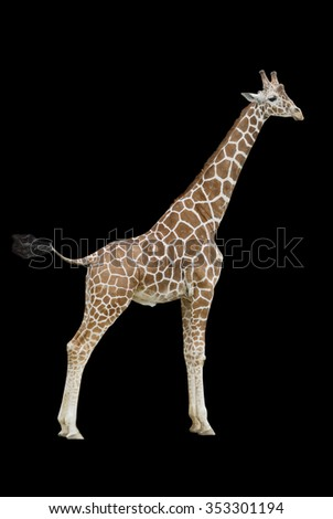 Giraffe on a black background, isolated