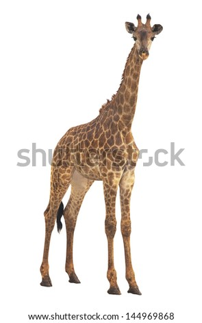Giraffe on a white background