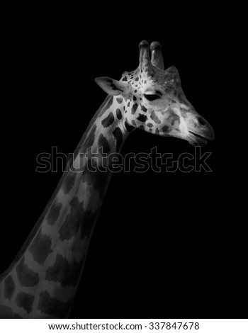 Giraffe on black background - stock photo