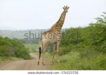 Giraffe on dusty road looking into camera in Umfolozi Game Reserve, South Africa, established in 1897 - stock photo