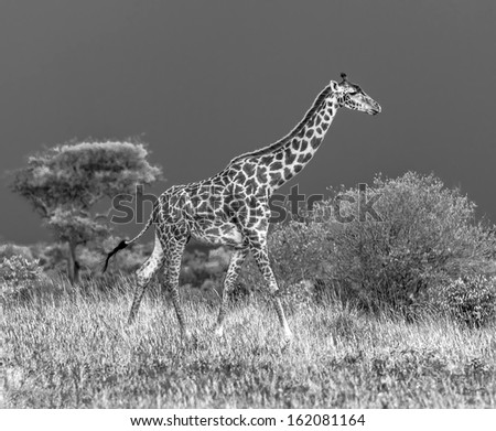 Giraffe on the background of a thundercloud in Masai Mara National Reserve - Kenya, Eastern Africa (black and white) - stock photo
