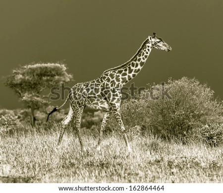 Giraffe on the background of a thundercloud in Masai Mara National Reserve - Kenya, Eastern Africa (stylized retro) - stock photo