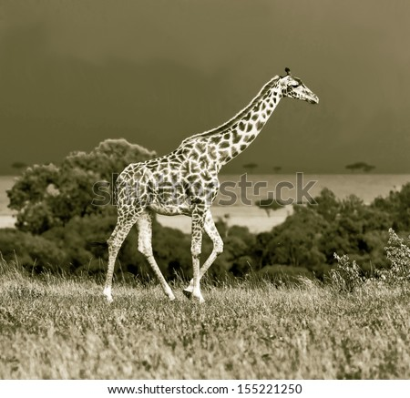 Giraffe on the background of a thundercloud in Masai Mara National Reserve, Kenya (stylized retro) - stock photo