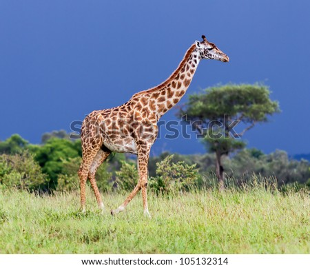 Giraffe on the background of a thundercloud in the Masai Mara National Reserve - Kenya