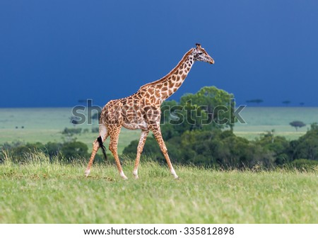 Giraffe on the background of a thundercloud - Kenya, Africa - stock photo