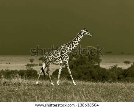 Giraffe on the background of a thundercloud on the Masai Mara National Reserve - Kenya (stylized retro) - stock photo
