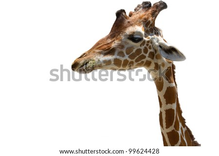 giraffe on white