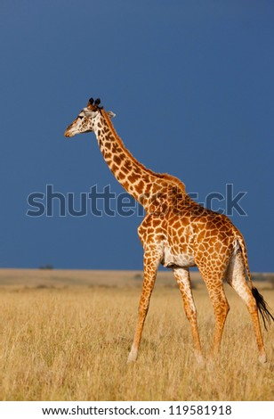 Giraffe over the background of a deep blue stormy African sky on the Masai Mara National Reserve - Kenya - stock photo