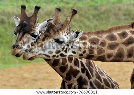 Giraffe pair - stock photo