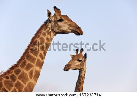 Giraffe pair profile.  - stock photo