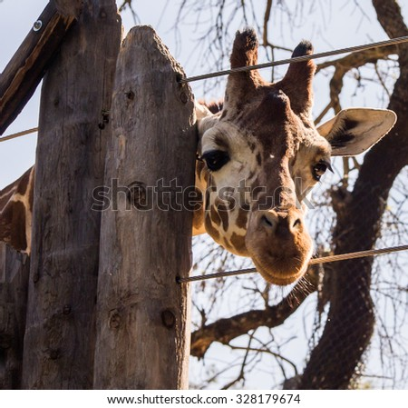 Giraffe Peeks Through the Fence Close Up