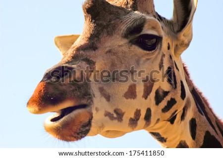 Giraffe portrait head on - stock photo