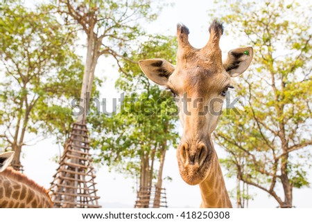 giraffe portrait in zoo - stock photo