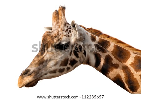 Giraffe portrait over white