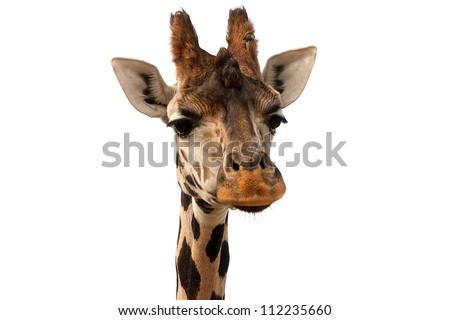 Giraffe portrait over white - stock photo