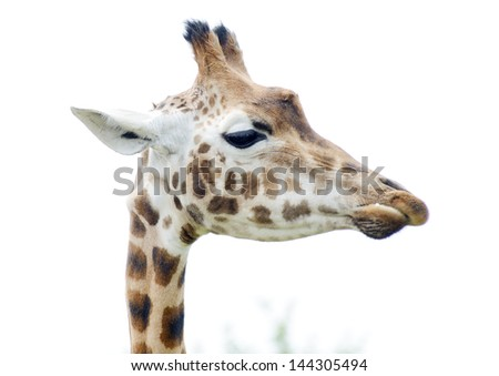 Giraffe profile in closeup showing head and long neck detail