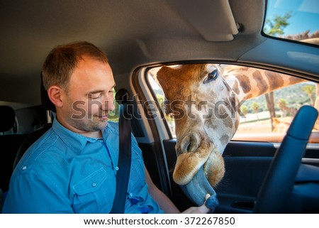 Giraffe put his head in car and waiting food from tourist
