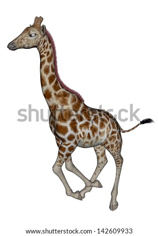 Giraffe running straight head up in white background