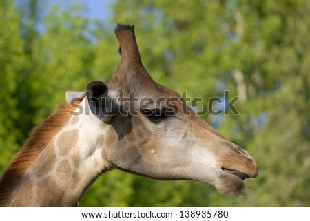 giraffe's head in the nature