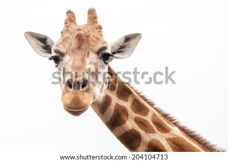 Giraffe's head looking straight at the camera against the white background of an overcast sky