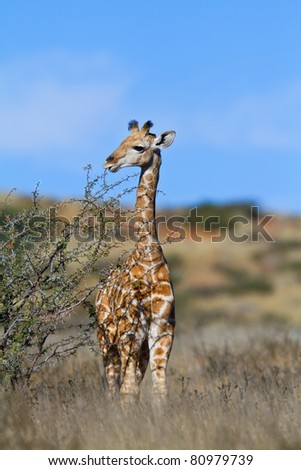 giraffe's in the kalahari