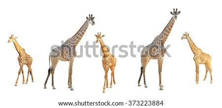 Giraffe set isolated on white background - stock photo