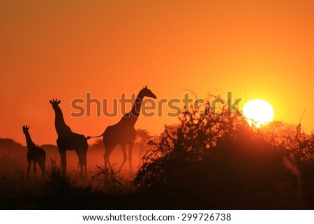 Giraffe Silhouette - African Wildlife Background - Beauty in Color and Freedom - stock photo