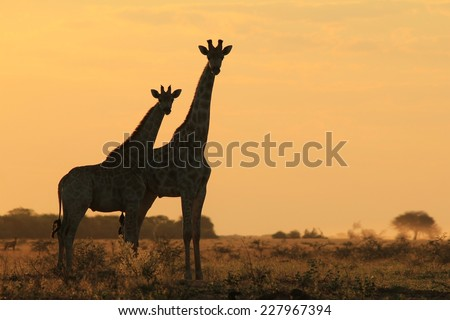 Giraffe Silhouette - African Wildlife Background - Golden Harmony and Tranquility - stock photo