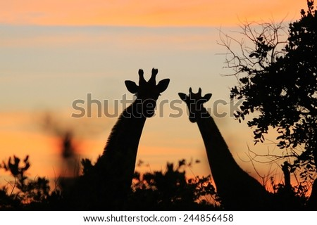 Giraffe Silhouette - African Wildlife Background - Sunset Tranquility and Color - stock photo