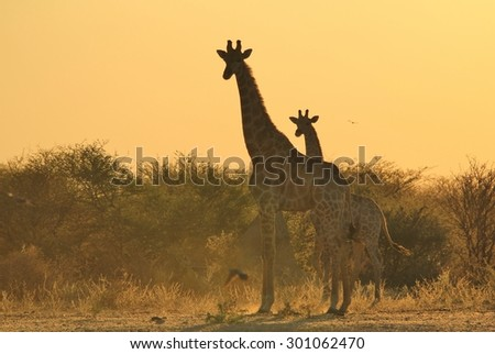 Giraffe Silhouettes - African Wildlife Background - Posture of Grace and Elegance with the Animal Kingdom