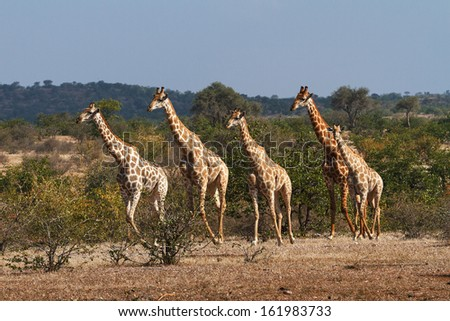 Giraffe single file
