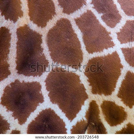 giraffe skin texture - stock photo